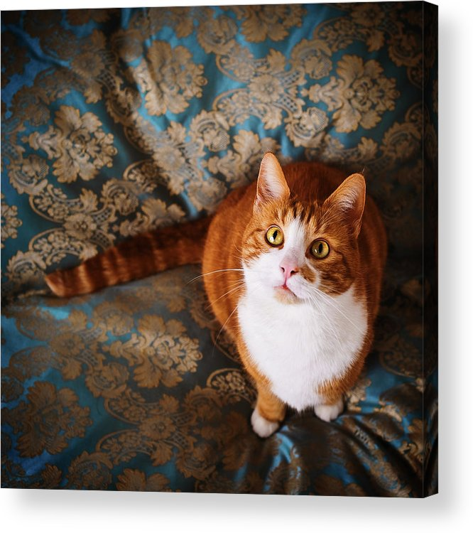 Pets Acrylic Print featuring the photograph Cute Cat Named Nisse by Knape