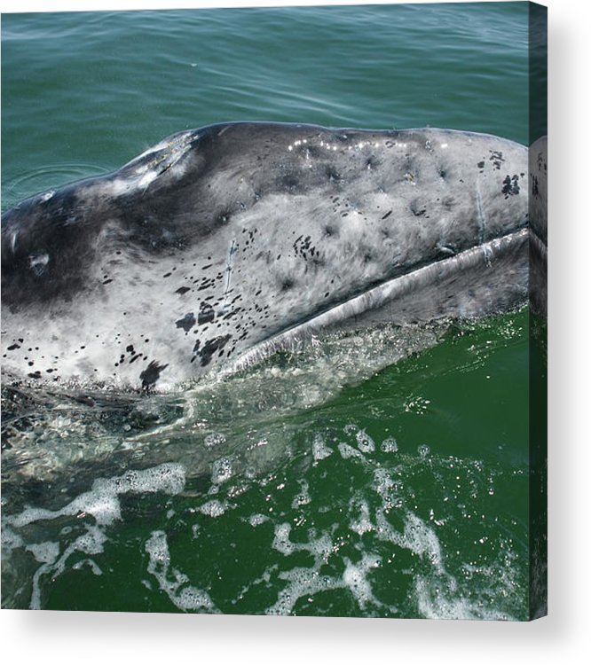 Latin America Acrylic Print featuring the photograph Grey Whale Head by Serengeti130