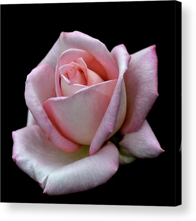 Part Of A Series Acrylic Print featuring the photograph Pink Rose by I Love Photo And Apple.