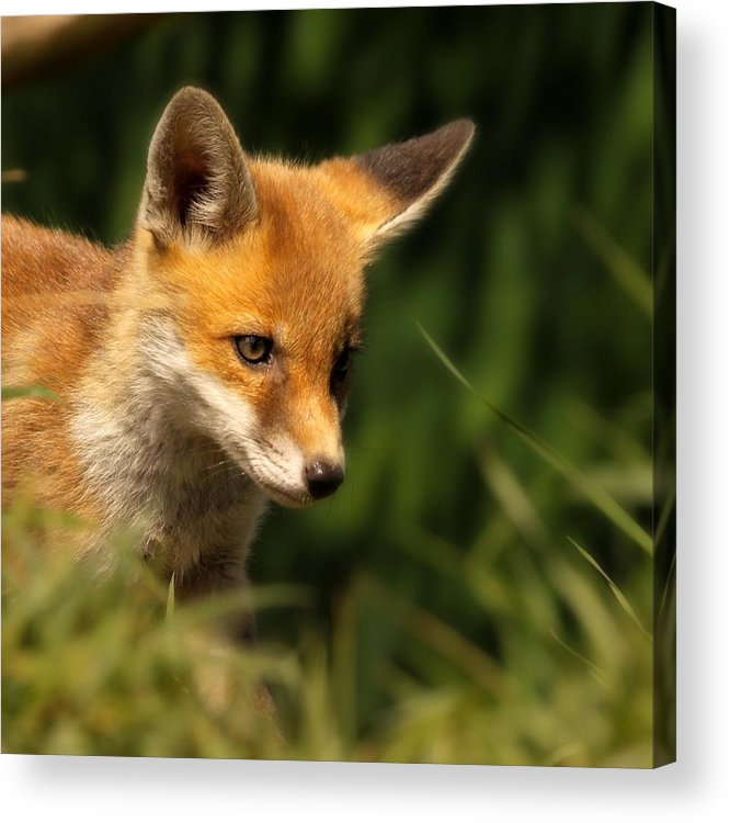 Alertness Acrylic Print featuring the photograph Red Fox Cub In The Grass by Chris Jolley