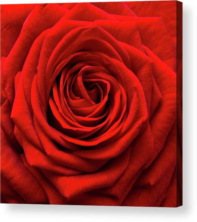 Rose Colored Acrylic Print featuring the photograph Red Rose by Anthony Dawson