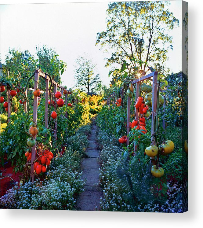Community Garden Acrylic Print featuring the photograph Tomatoes On Frames by Richard Felber