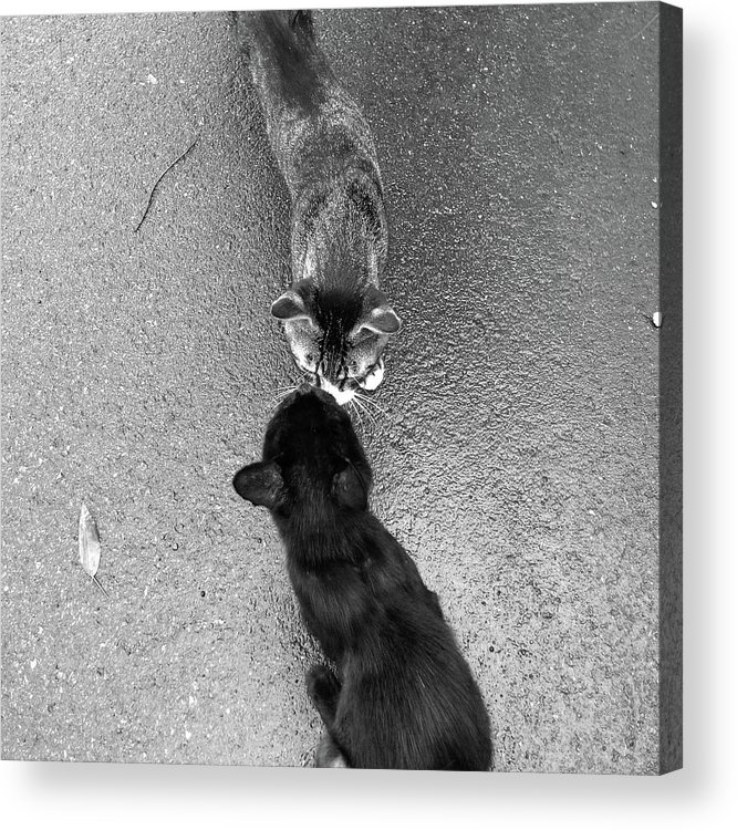 Pets Acrylic Print featuring the photograph Two Kittens Which Kiss by Photographer, Loves Art, Lives In Kyoto