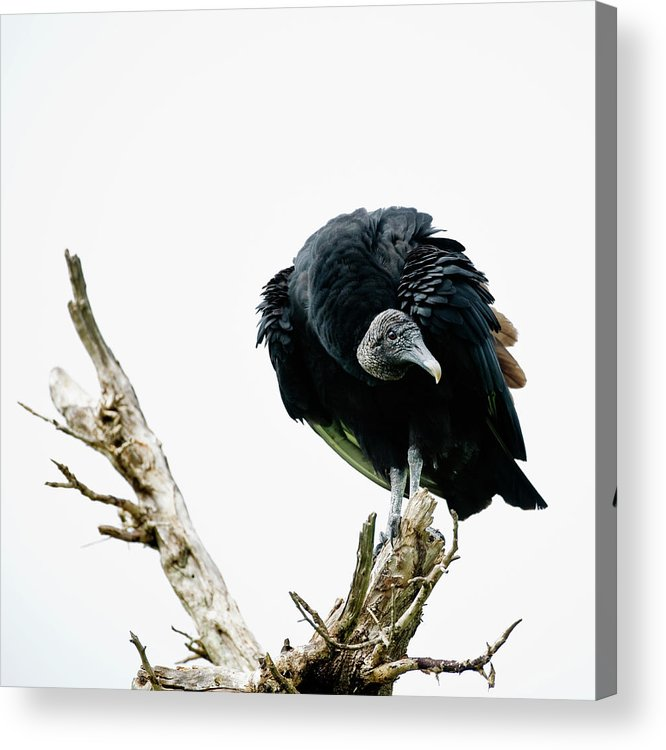 Animal Themes Acrylic Print featuring the photograph Vulture Perched On Tree by Roine Magnusson