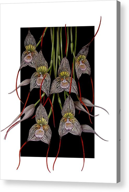 Orchid Acrylic Print featuring the painting Dracula Vampira by Darren James Sturrock