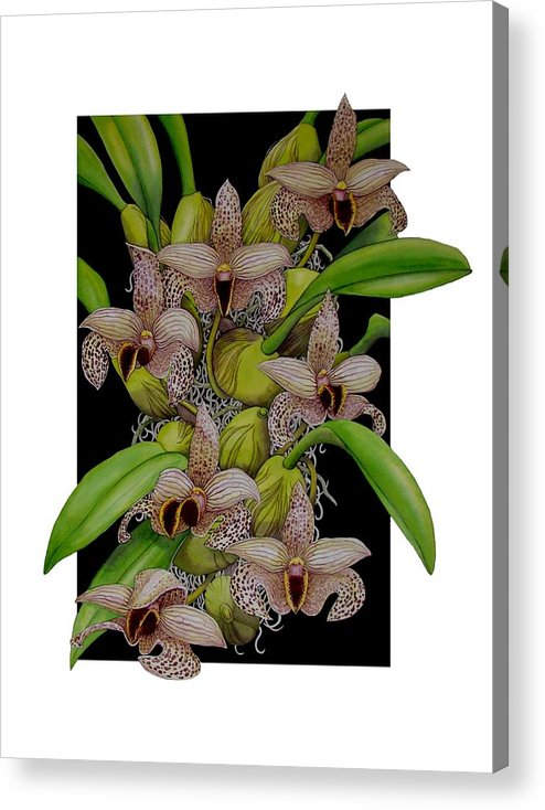 Orchids Acrylic Print featuring the painting Bulbophyllum Sumatranum by Darren James Sturrock
