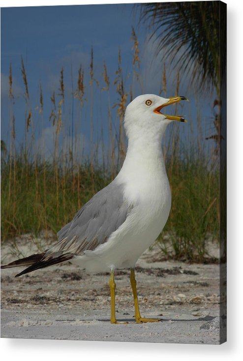 Seagulls Acrylic Print featuring the photograph Songs Of The Gull by Amanda Vouglas