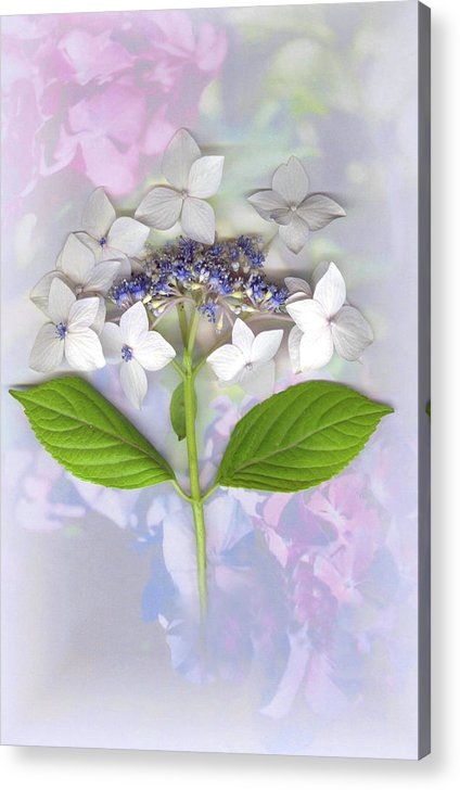 Lacecap Hydrangea Acrylic Print featuring the mixed media Lacecap Hydrangea by Sandi F Hutchins