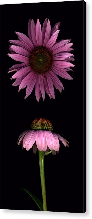 Scanography Acrylic Print featuring the photograph Cone Flowers by Deborah J Humphries