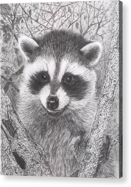 Raccoon Acrylic Print featuring the drawing Raccoon Kit by Marlene Piccolin