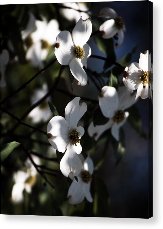 Dogwood Acrylic Print featuring the photograph Dogwood Blossoms by Ayesha Lakes