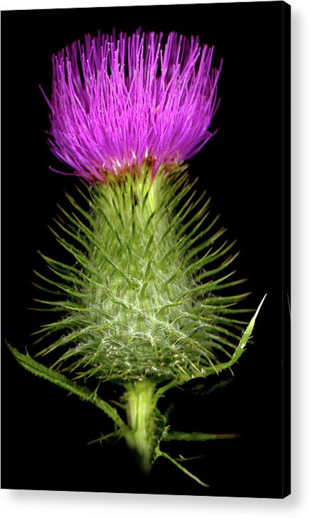 Acrylic Print featuring the photograph Thistle by Sandi F Hutchins