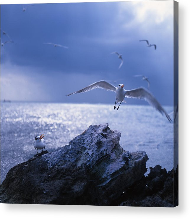 Nature Acrylic Print featuring the photograph Seabird Flack by Benjamin Garvey