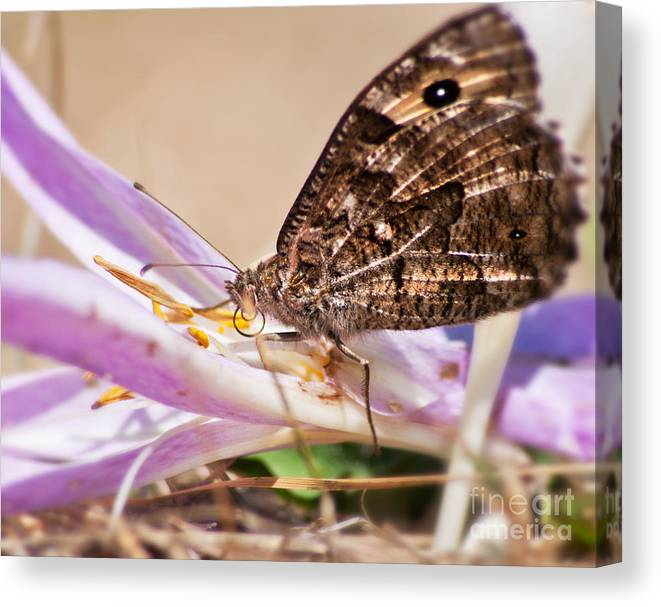 Limited Time Promotion: Brown Butterfly Stretched Canvas Print