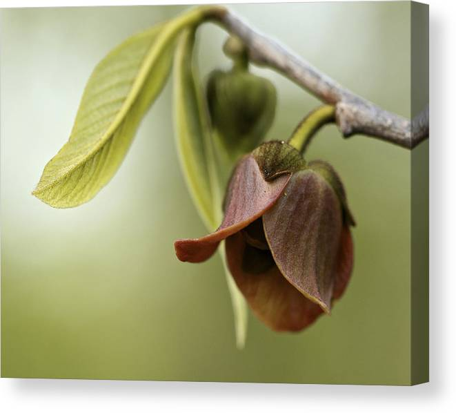 Limited Time Promotion: Pawpaw - Spring Delight Stretched Canvas Print