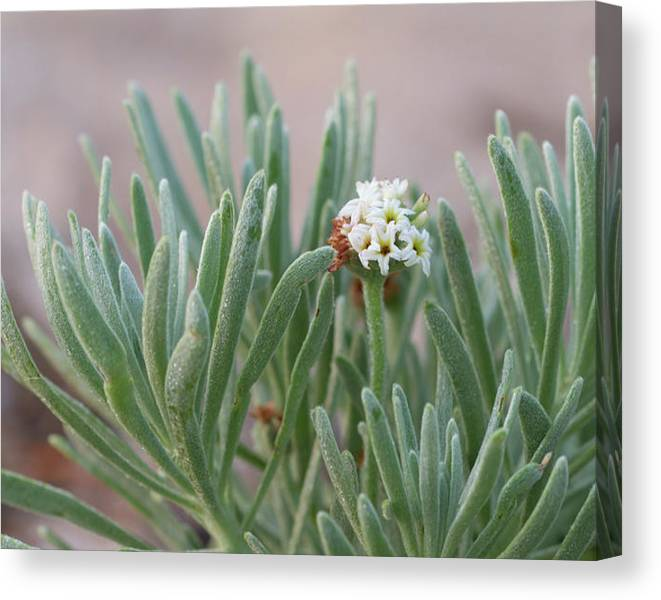 Limited Time Promotion: Sea Rosemary Stretched Canvas Print