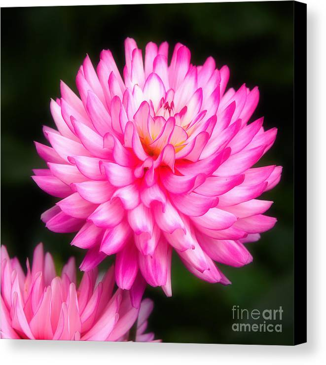 Closeup Canvas Print featuring the photograph Pink Chrysanths by Nick Biemans