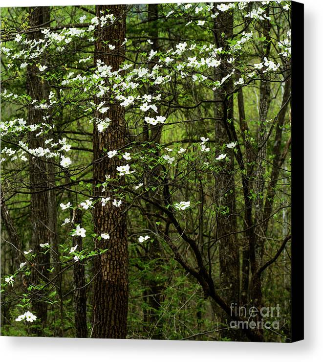 Spring Canvas Print featuring the photograph Dogwood Blooming In Forest by Thomas R Fletcher