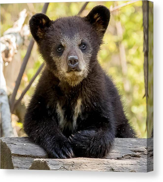 Bears Canvas Print featuring the photograph Black Bear Cub by Mary Jo Cox