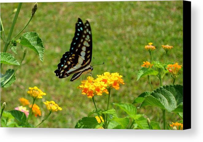Canvas Print featuring the photograph Butterfly by Pritesh Divekar