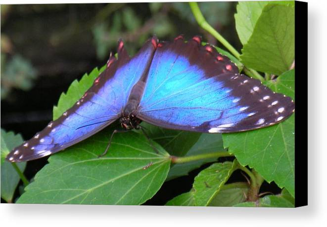 Butterfly Canvas Print featuring the photograph Wings Of Beauty by Wendy Le Ber