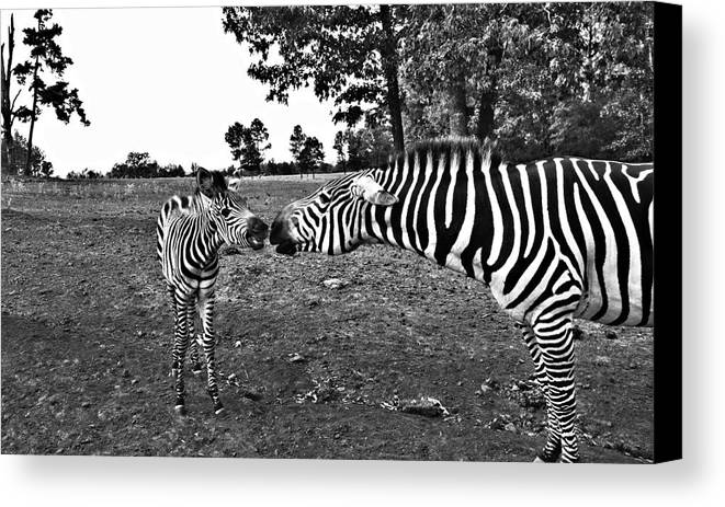 Zebras Canvas Print featuring the photograph Mother And Child-black And White by Douglas Barnard