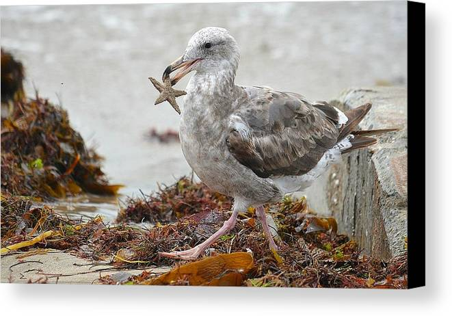 Seagull With Starfish Canvas Print featuring the photograph Unwilling Star by Fraida Gutovich
