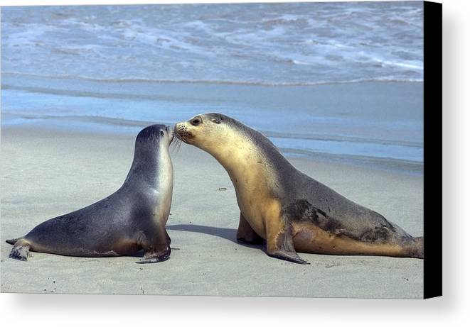 Sea Lion Canvas Print featuring the photograph A Mothers Love by Mike Dawson