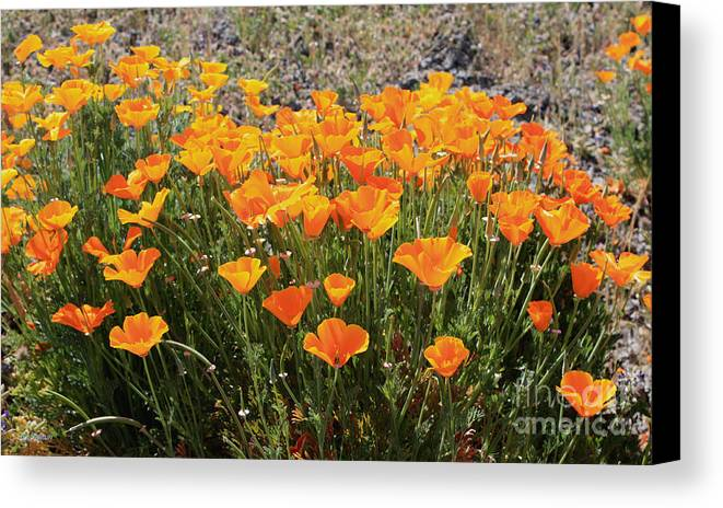 Poppies Canvas Print featuring the photograph First Bloom by Gail Salitui