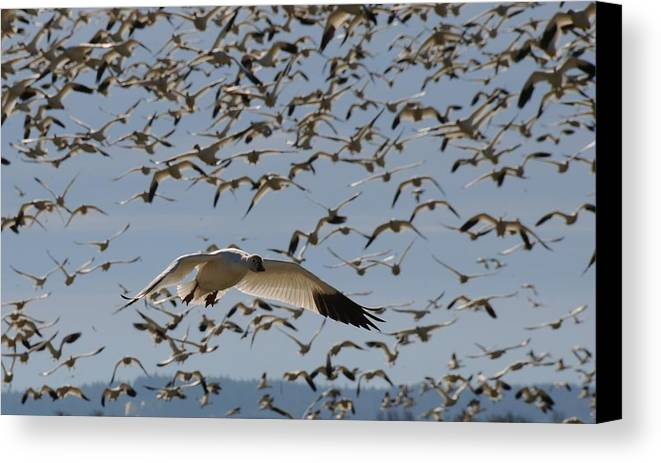 Snow Canvas Print featuring the photograph Snow Goose by Alasdair Turner