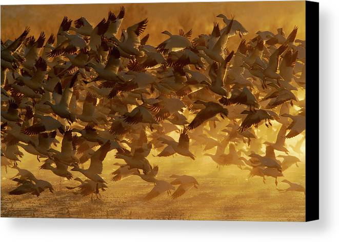Animal Canvas Print featuring the photograph Usa, New Mexico, Bosque Del Apache by Jaynes Gallery