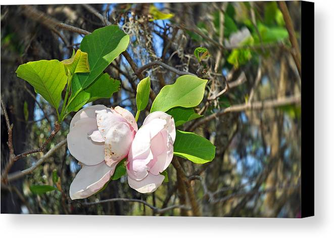 Floral Canvas Print featuring the photograph Magnolia Flower by Deborah Good