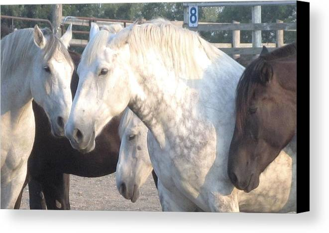 Brown And White Horses Canvas Print featuring the photograph Horse-29 by Todd Sherlock