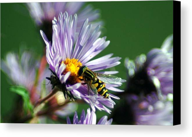 Hoverfly Canvas Print featuring the photograph 091509-62 by Mike Davis
