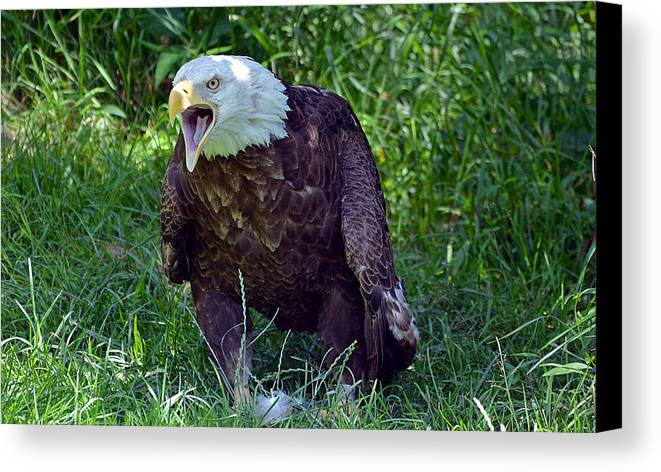 Eagle Canvas Print featuring the photograph Defiance by Robert Kenny