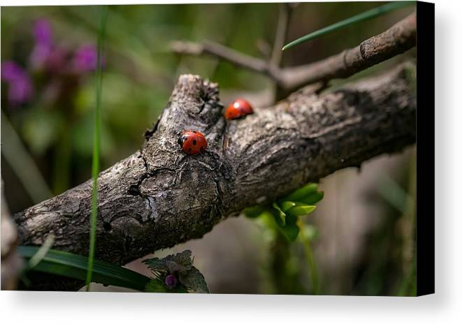 Tree Ladybird Summer Canvas Print featuring the photograph Follow Me by Alan Kennedy