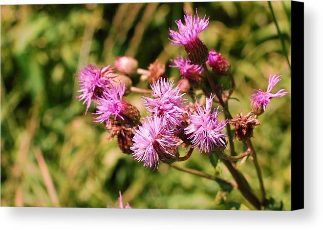 Flower Canvas Print featuring the photograph Roadside Beauty by Jame Hayes
