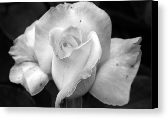 Rose Canvas Print featuring the photograph White Rose by Holly Ethan