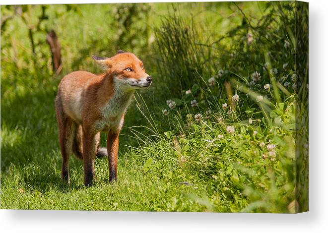British Wildlife Centre Canvas Print featuring the photograph A British Red Fox by Dawn OConnor