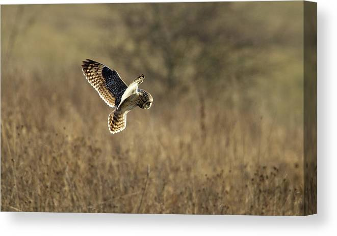 Birds Canvas Print featuring the photograph Short-eared Owl About To Strike by Bob Kemp