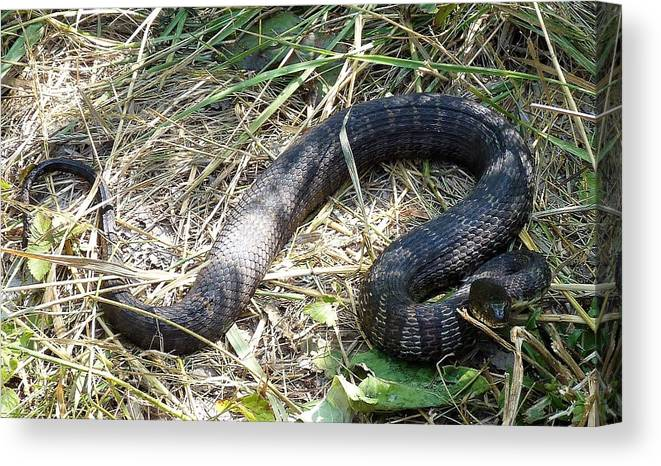 Snake Canvas Print featuring the photograph Snake So Pretty by Donjoe Mitchell