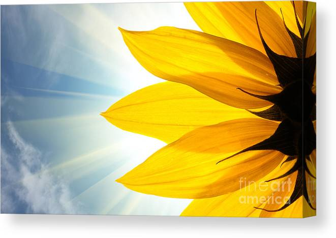 Big Canvas Print featuring the photograph Sunflower Detail Isolated On White by Logoboom