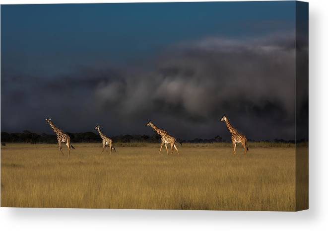 Giraffe Canvas Print featuring the photograph When A Storm Is Coming by Siyu And Wei
