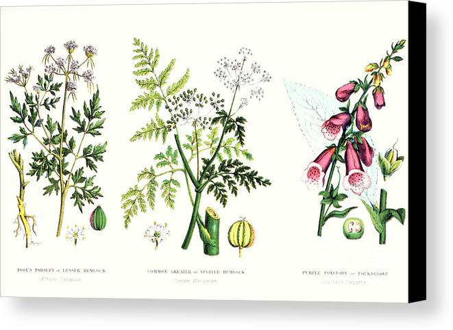 Botany; Botanical; Medicine; Medical; Plant; Flower; Flowers; Toxic Canvas Print featuring the painting Common Poisonous Plants by English School