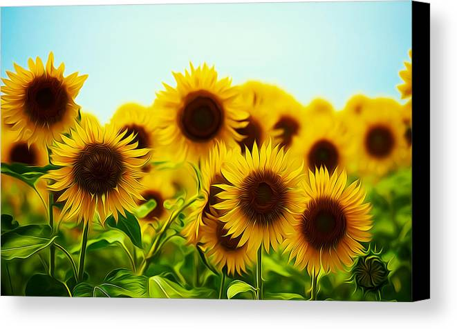 Field Canvas Print featuring the painting A Beautiful Sunflower Field by Jeelan Clark