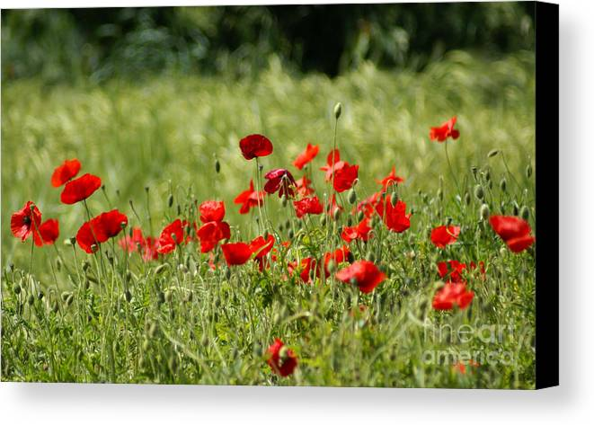 Poppies Canvas Print featuring the photograph Beautiful Poppies 1 by Carol Lynch
