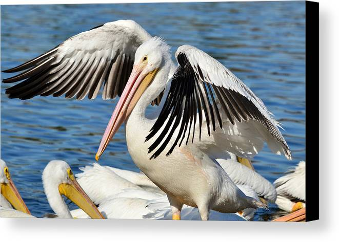 American White Pelican Canvas Print featuring the photograph Drying Off In Style by Fraida Gutovich
