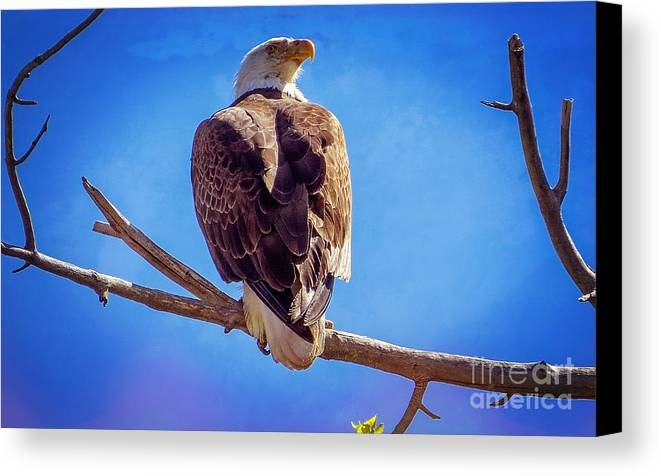 American Bald Eagle Canvas Print featuring the photograph Looking Right by Bob Hislop