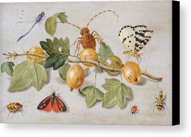 Gooseberry Canvas Print featuring the painting Still Life Of Branch Of Gooseberries by Jan Van Kessel