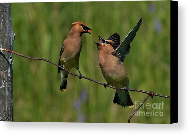 Festblues Canvas Print featuring the photograph Waxwing Love.. by Nina Stavlund